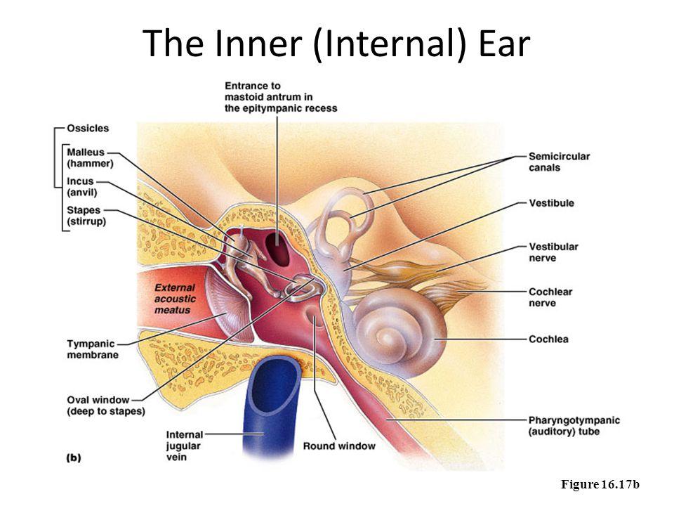 The Inner (Internal) Ear