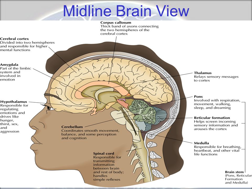 Midline Brain View