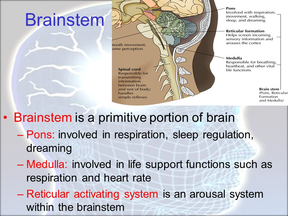 Brainstem Brainstem is a primitive portion of brain
