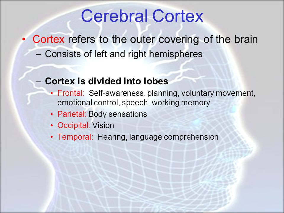 Cerebral Cortex Cortex refers to the outer covering of the brain