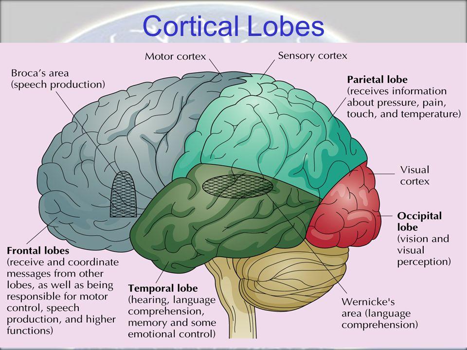 Cortical Lobes