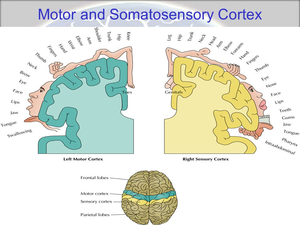 Motor and Somatosensory Cortex