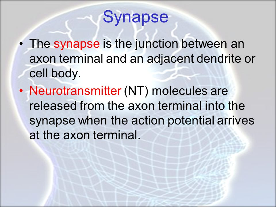 Synapse The synapse is the junction between an axon terminal and an adjacent dendrite or cell body.