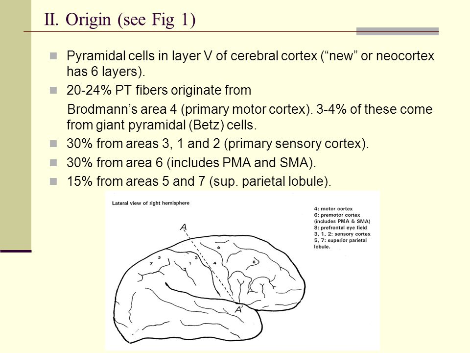 II. Origin (see Fig 1) Pyramidal cells in layer V of cerebral cortex ( new or neocortex has 6 layers).