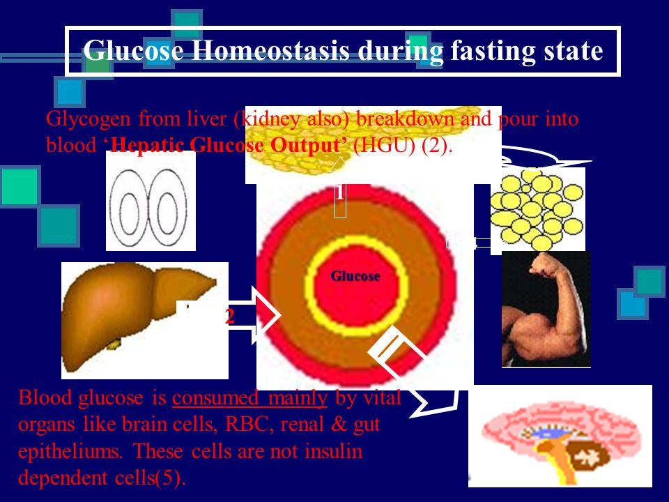 Glucose Homeostasis during fasting state