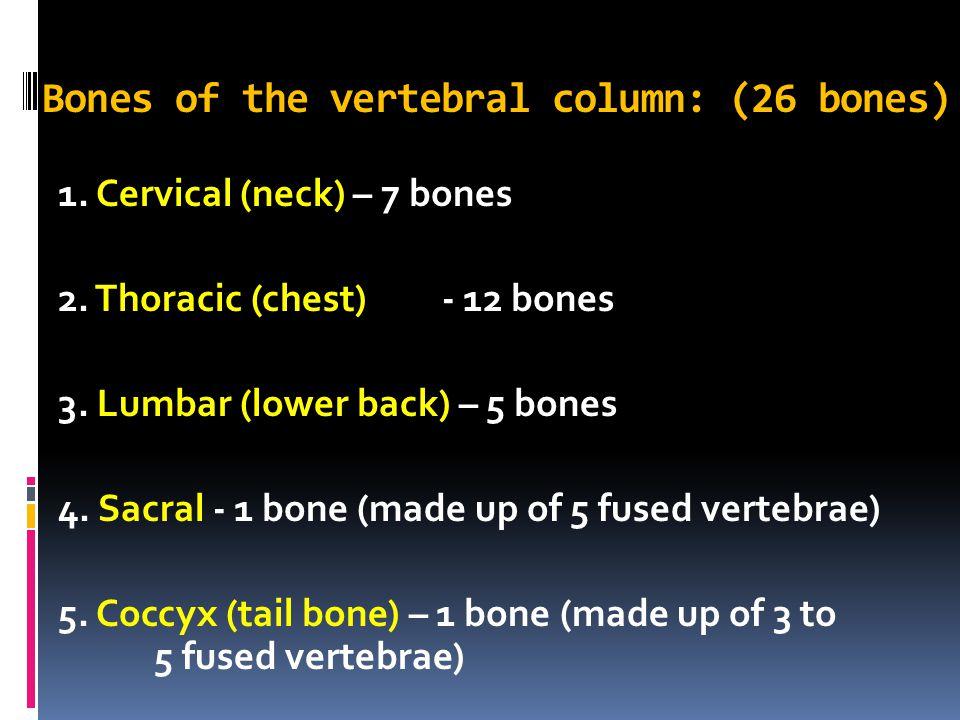 Bones of the vertebral column: (26 bones)