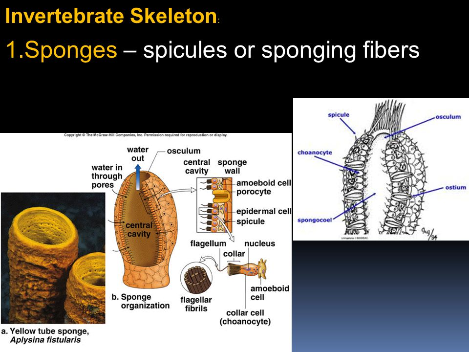 Sponges – spicules or sponging fibers