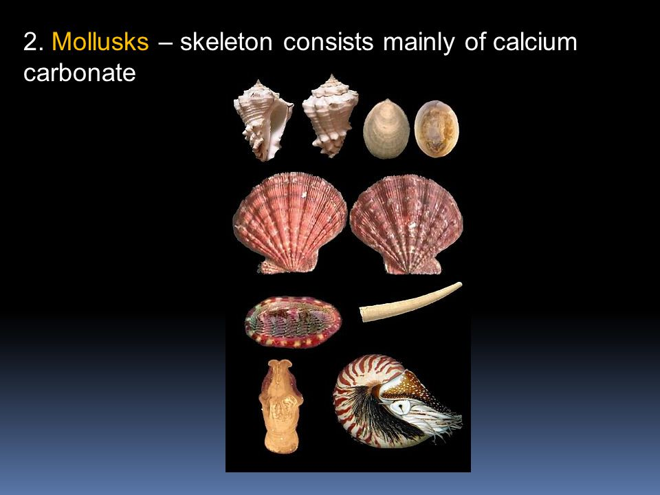 2. Mollusks – skeleton consists mainly of calcium carbonate