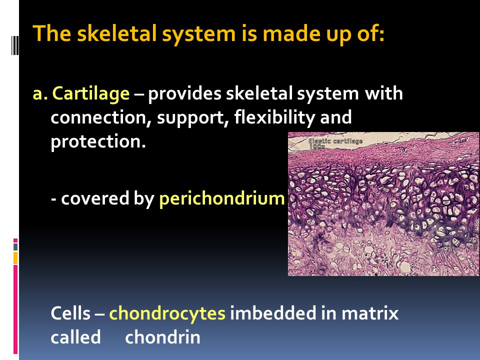 The skeletal system is made up of: