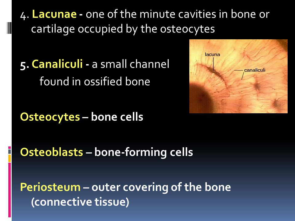 4. Lacunae - one of the minute cavities in bone or cartilage occupied by the osteocytes