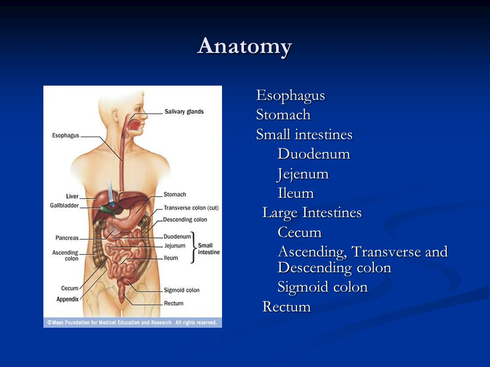 Anatomy Stomach Small intestines Duodenum Jejenum Ileum