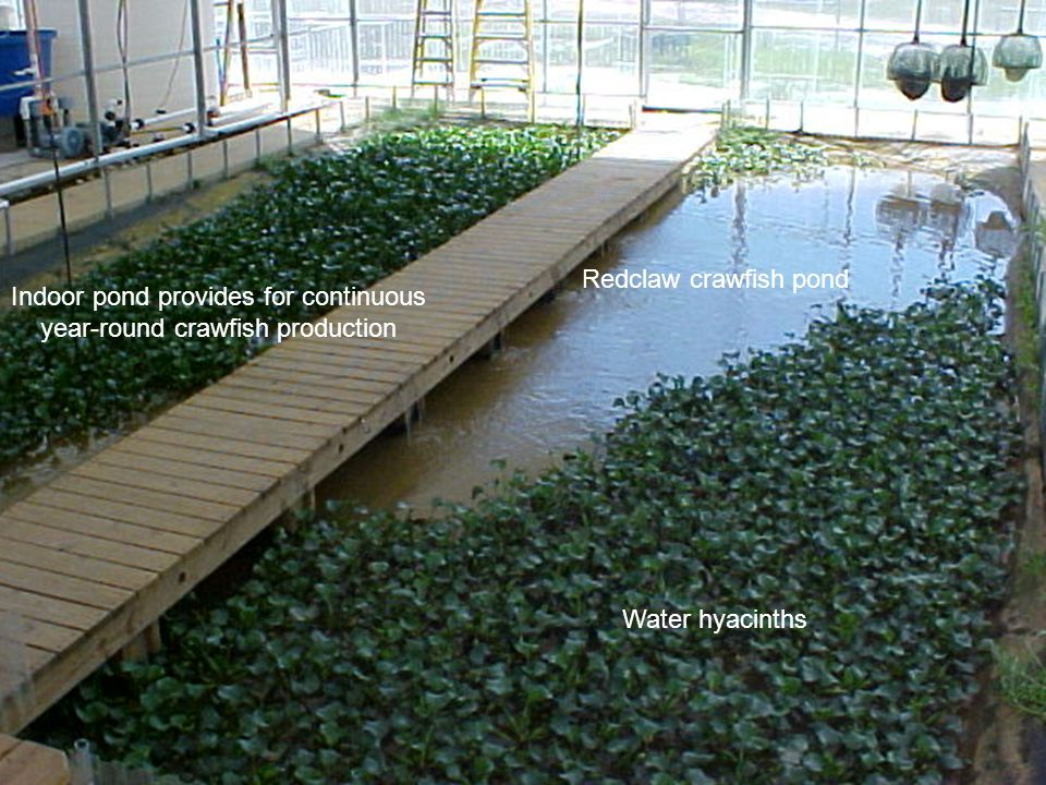 Indoor pond provides for continuous year-round crawfish production