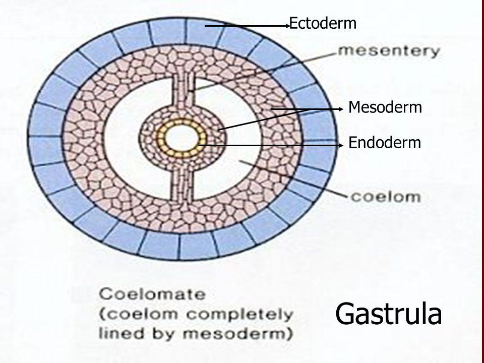 Ectoderm Endoderm Mesoderm Gastrula