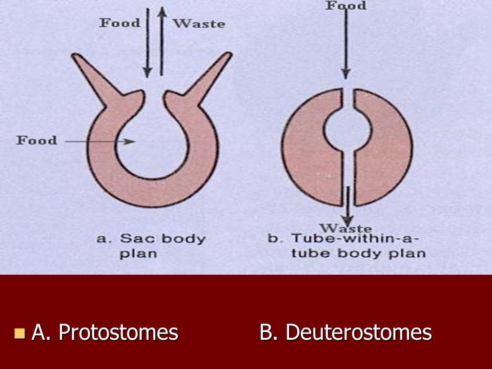 A. Protostomes B. Deuterostomes