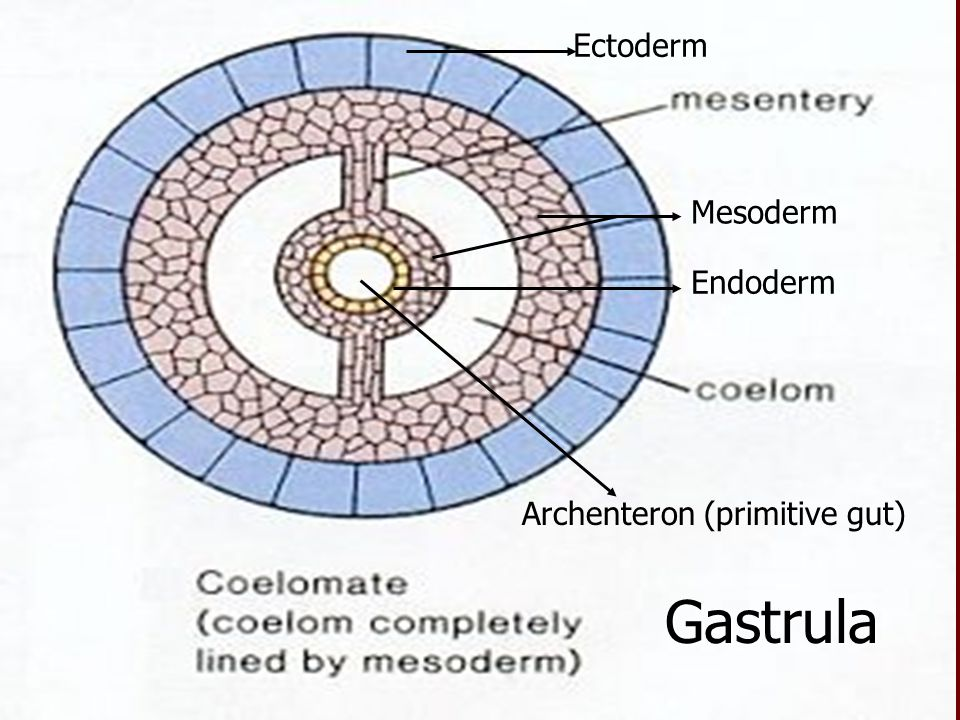 Ectoderm Endoderm Mesoderm Archenteron (primitive gut) Gastrula