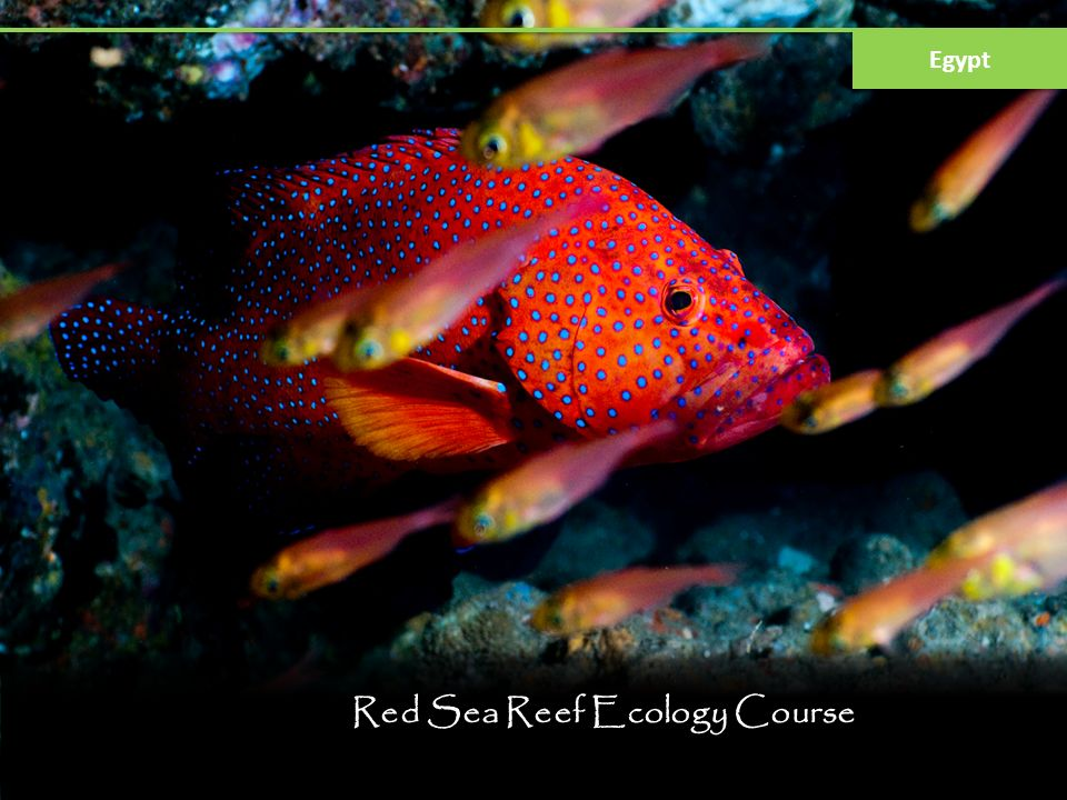 Red Sea Reef Ecology Course