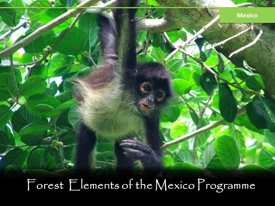 Forest Elements of the Mexico Programme