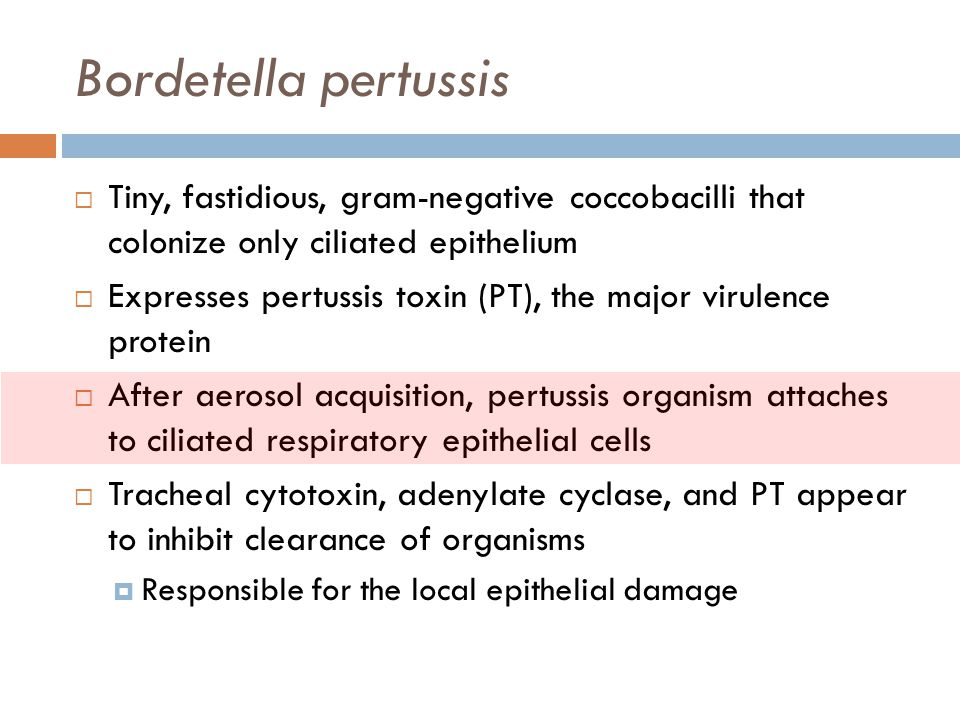 Bordetella pertussis Tiny, fastidious, gram-negative coccobacilli that colonize only ciliated epithelium.