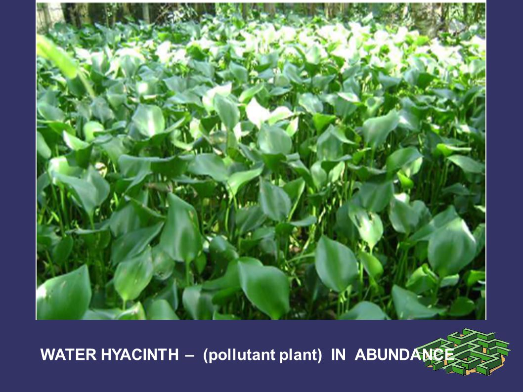 WATER HYACINTH – (pollutant plant) IN ABUNDANCE