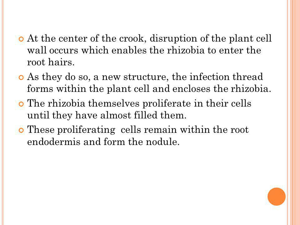 At the center of the crook, disruption of the plant cell wall occurs which enables the rhizobia to enter the root hairs.