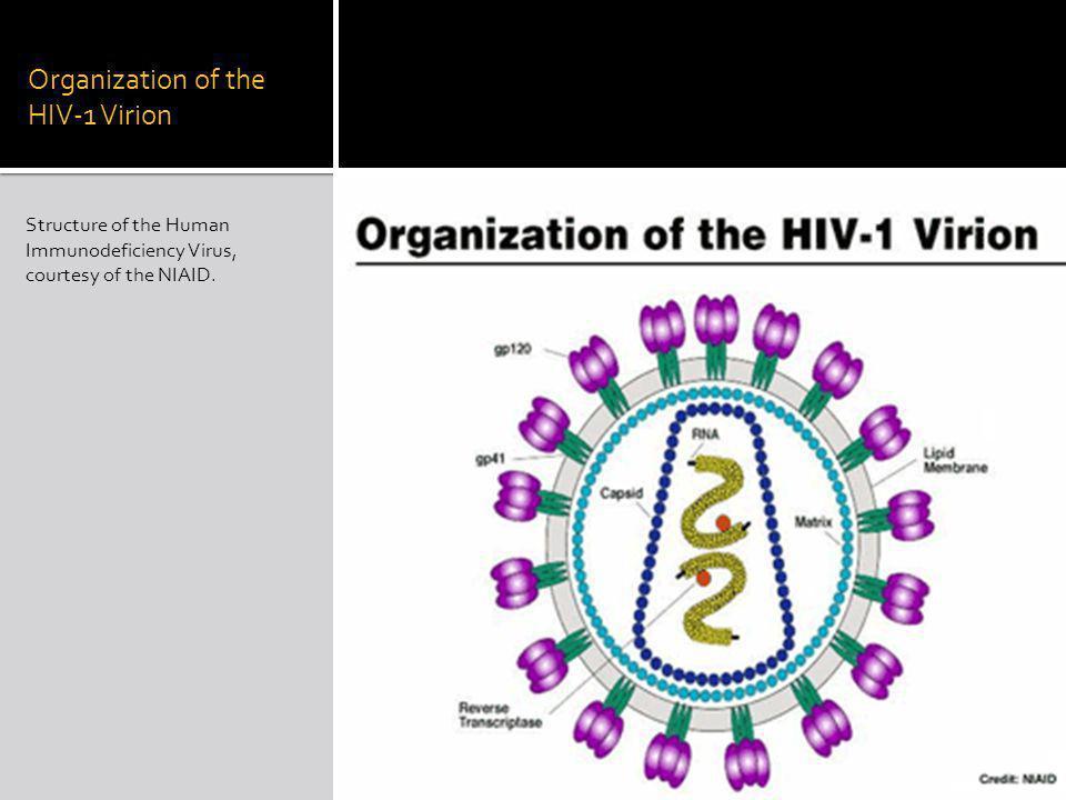 Organization of the HIV-1 Virion