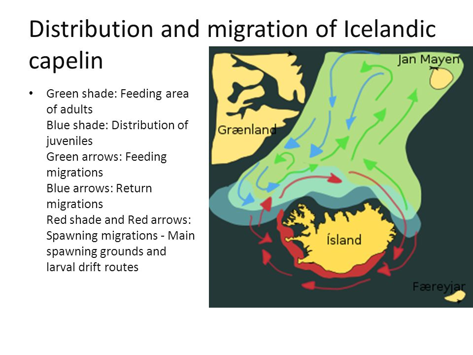 Distribution and migration of Icelandic capelin