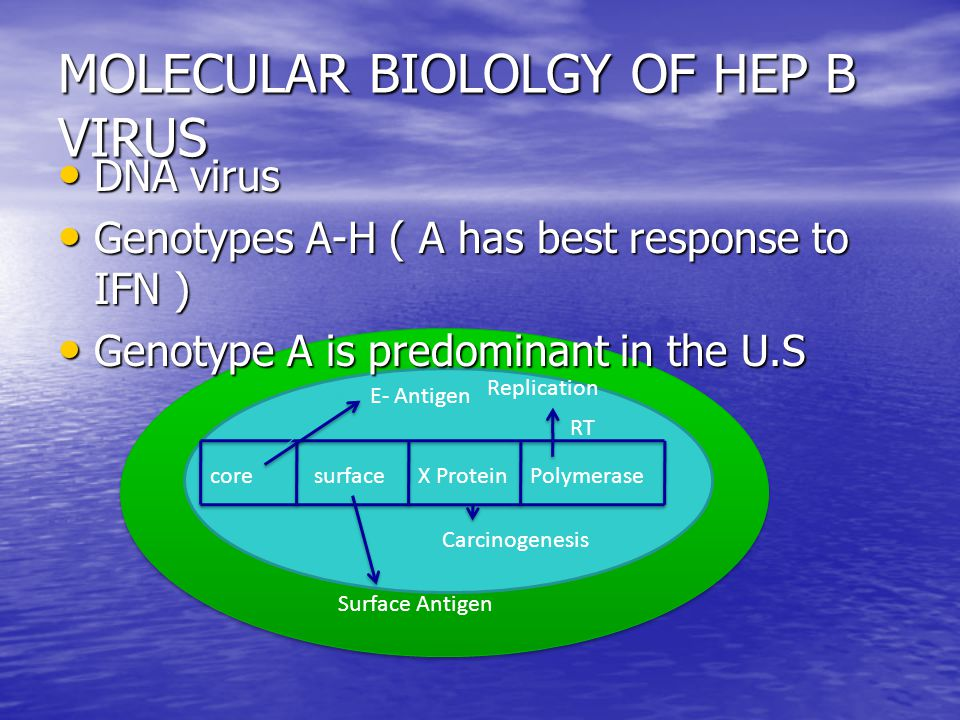 MOLECULAR BIOLOLGY OF HEP B VIRUS