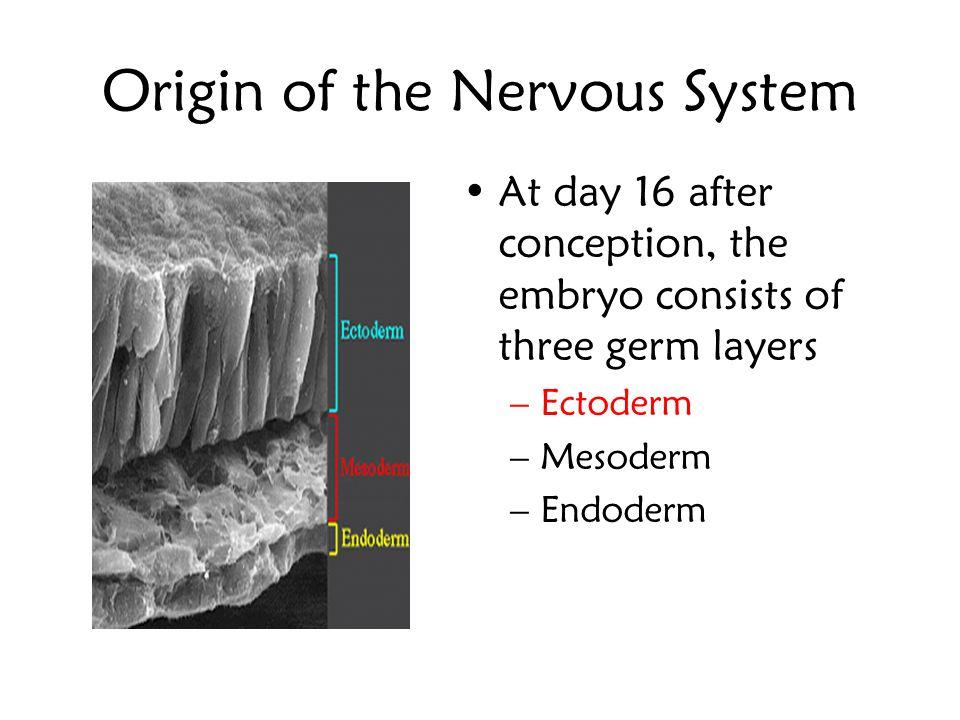 Origin of the Nervous System