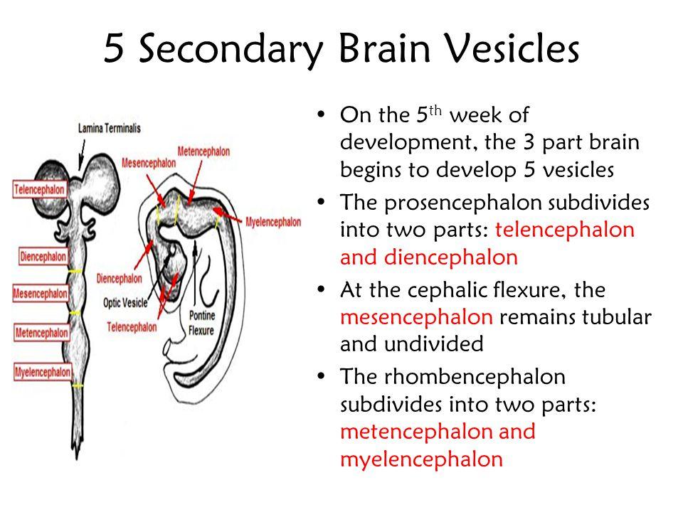 5 Secondary Brain Vesicles