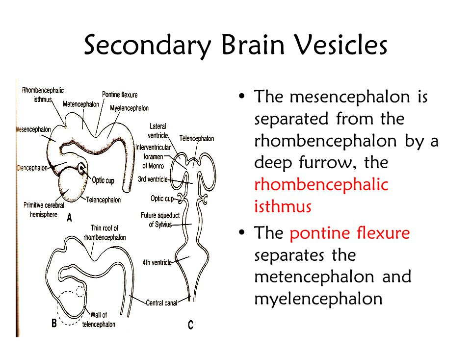 Secondary Brain Vesicles