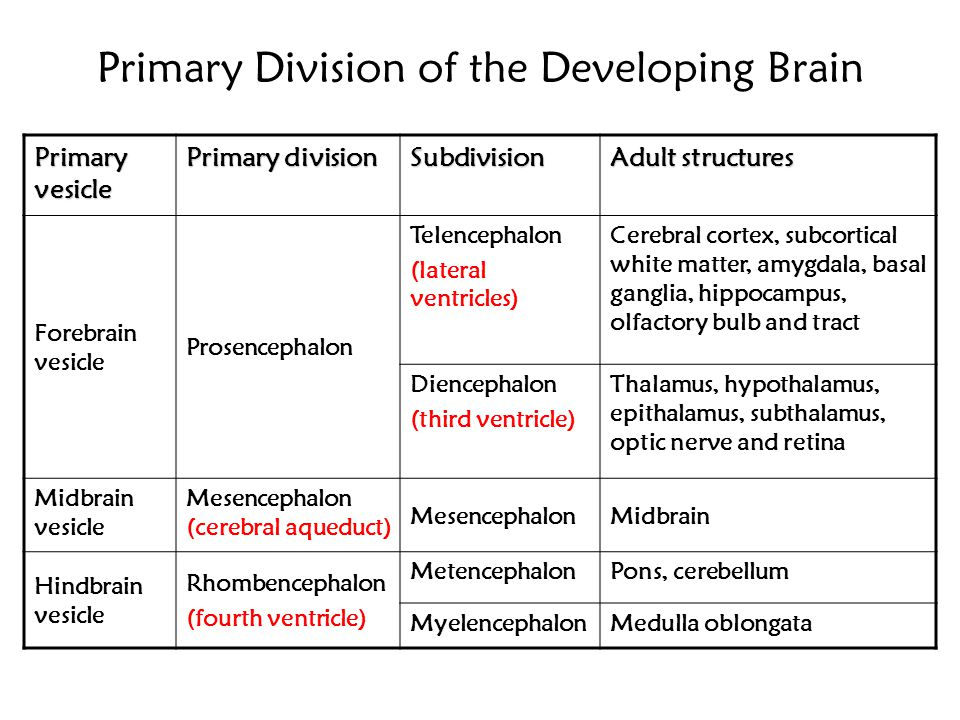 Primary Division of the Developing Brain