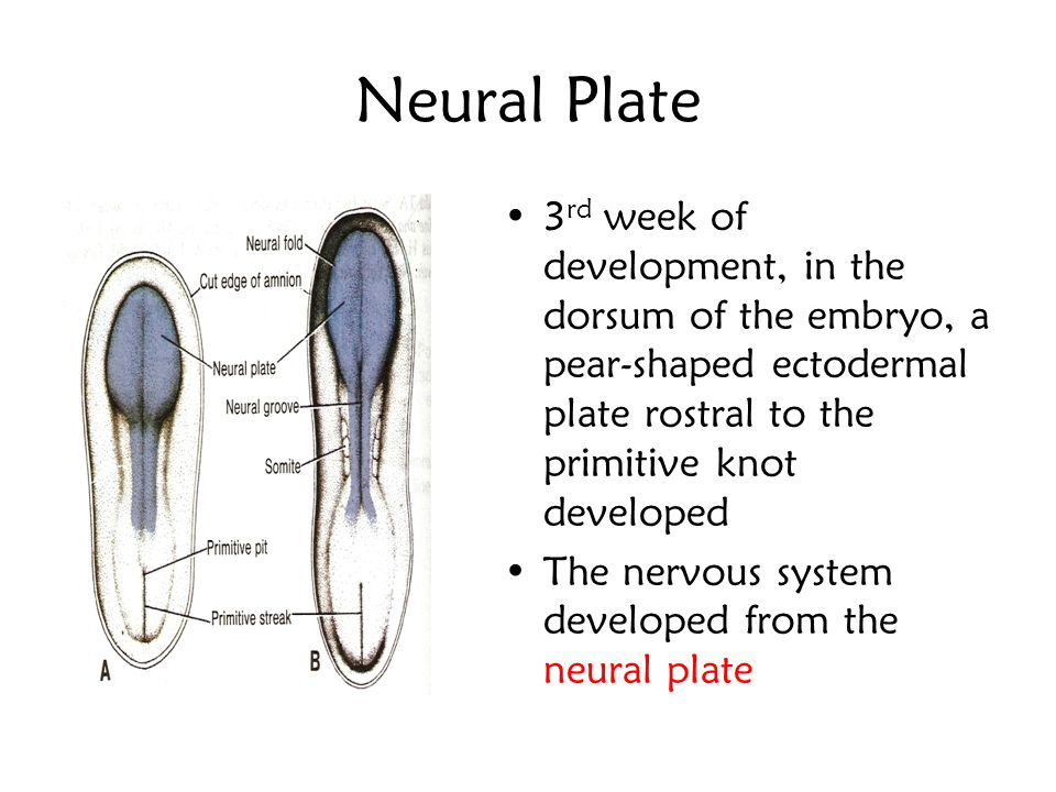 Neural Plate 3rd week of development, in the dorsum of the embryo, a pear-shaped ectodermal plate rostral to the primitive knot developed.