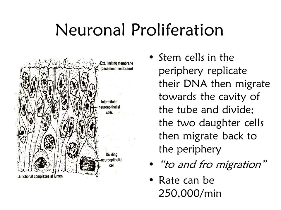 Neuronal Proliferation