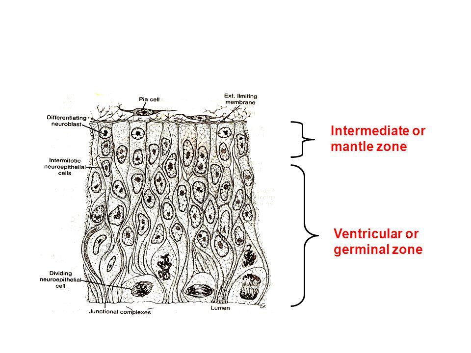 Intermediate or mantle zone Ventricular or germinal zone