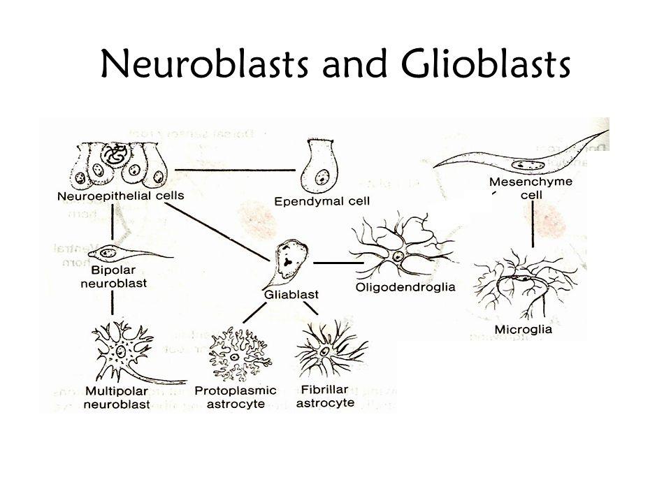 Neuroblasts and Glioblasts