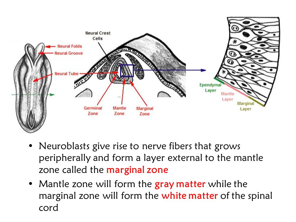 Neuroblasts give rise to nerve fibers that grows peripherally and form a layer external to the mantle zone called the marginal zone
