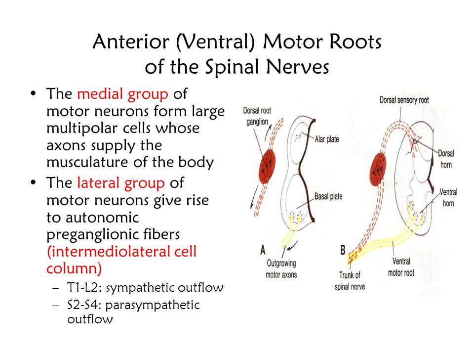 Anterior (Ventral) Motor Roots of the Spinal Nerves