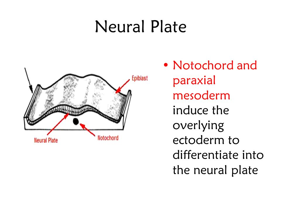 Neural Plate Notochord and paraxial mesoderm induce the overlying ectoderm to differentiate into the neural plate.