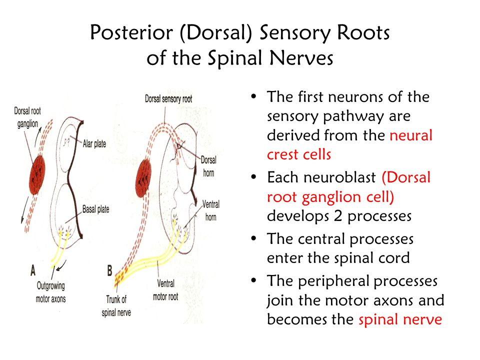 Posterior (Dorsal) Sensory Roots of the Spinal Nerves