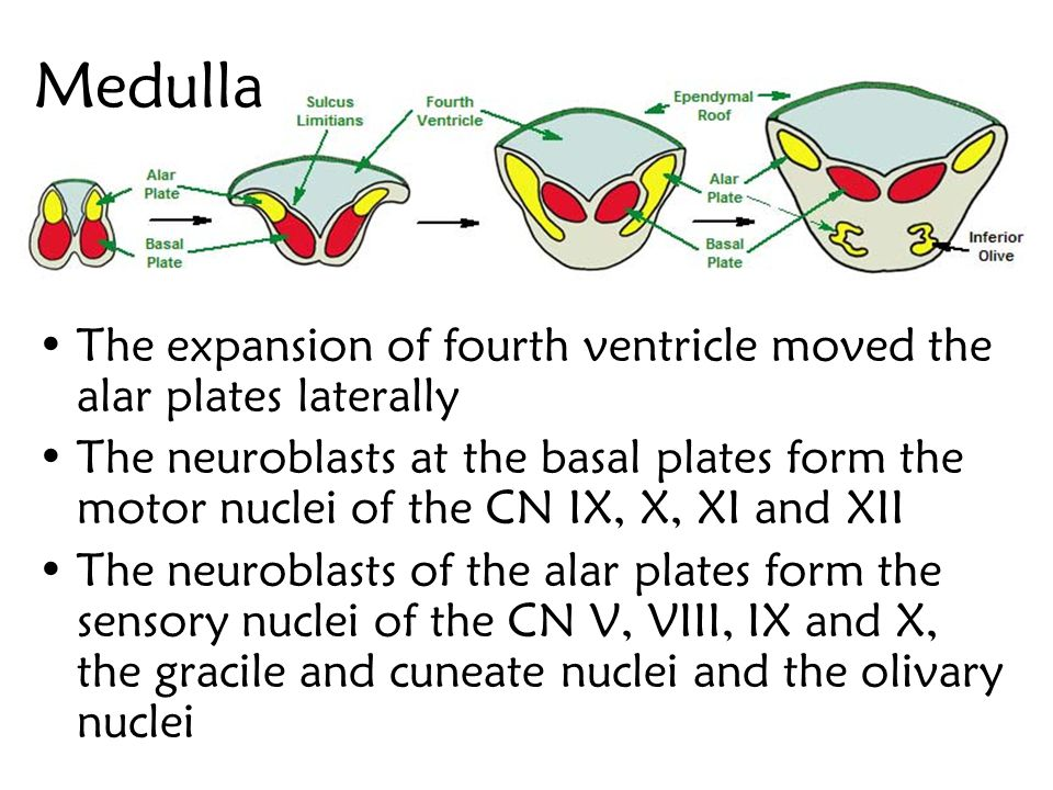 Medulla The expansion of fourth ventricle moved the alar plates laterally.
