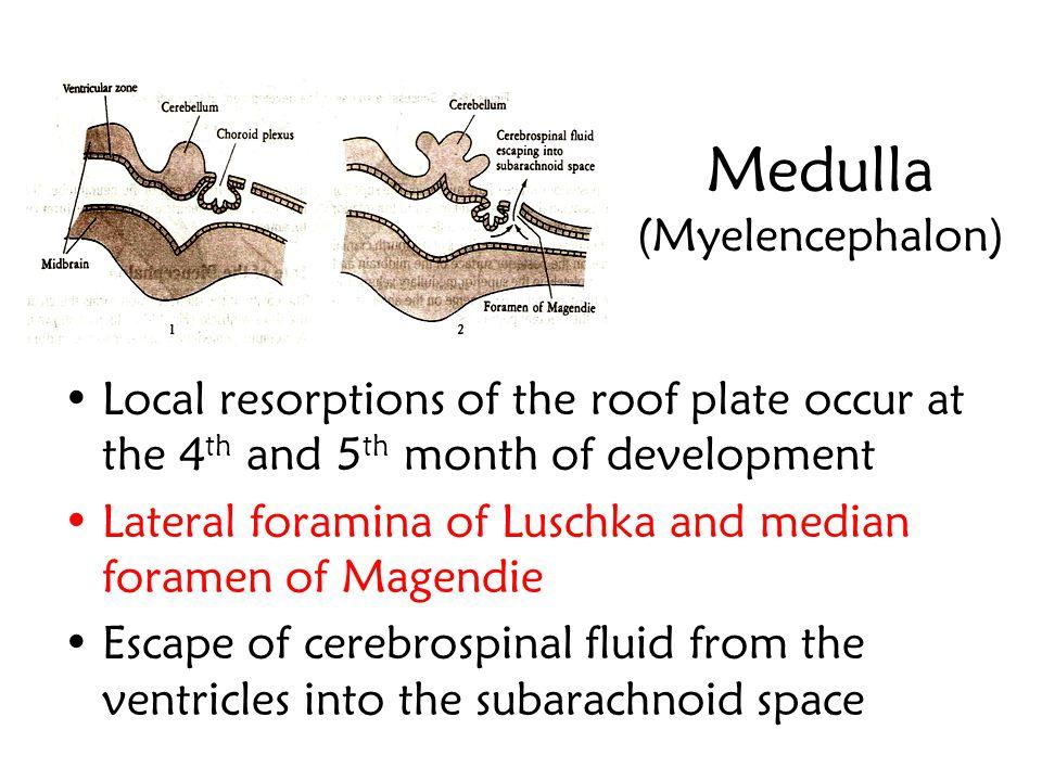 Medulla (Myelencephalon)