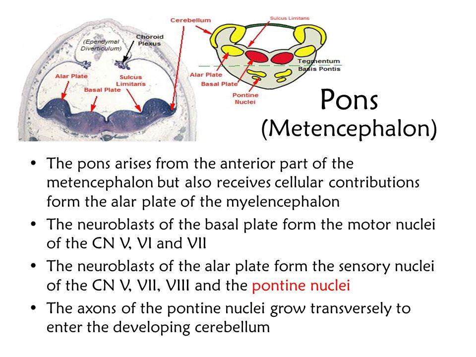 Pons (Metencephalon)