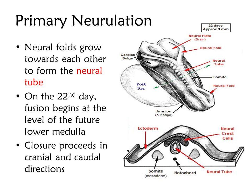 Primary Neurulation Neural folds grow towards each other to form the neural tube.