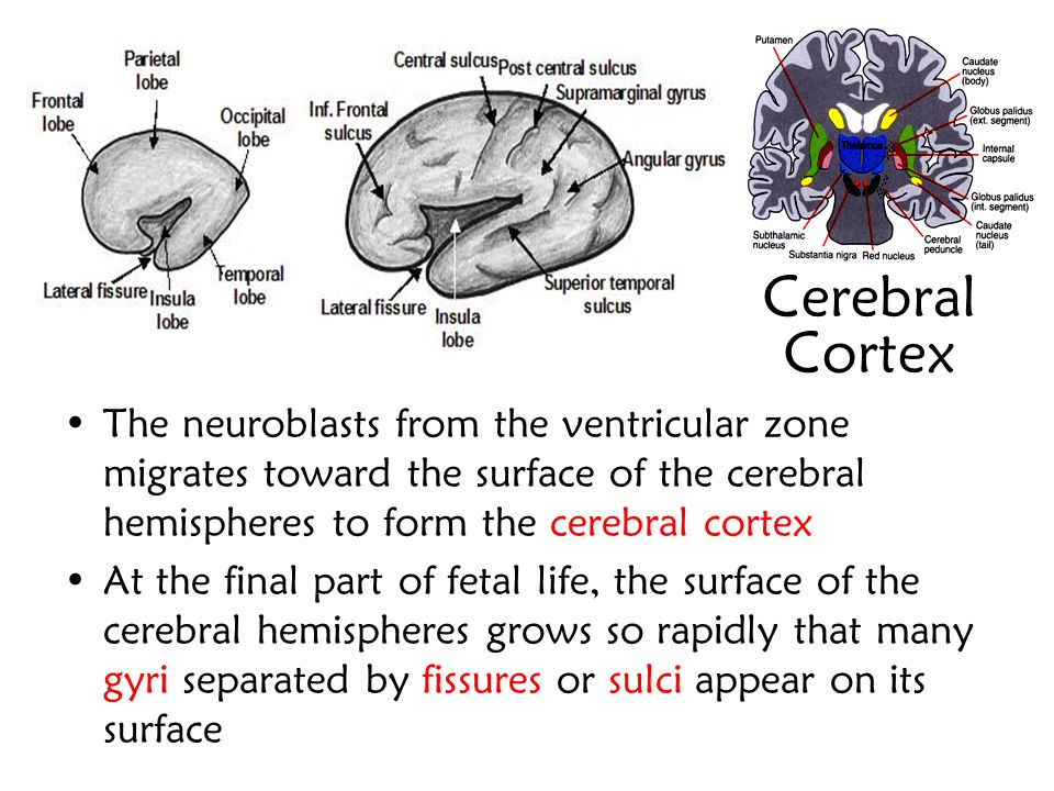 Cerebral Cortex The neuroblasts from the ventricular zone migrates toward the surface of the cerebral hemispheres to form the cerebral cortex.