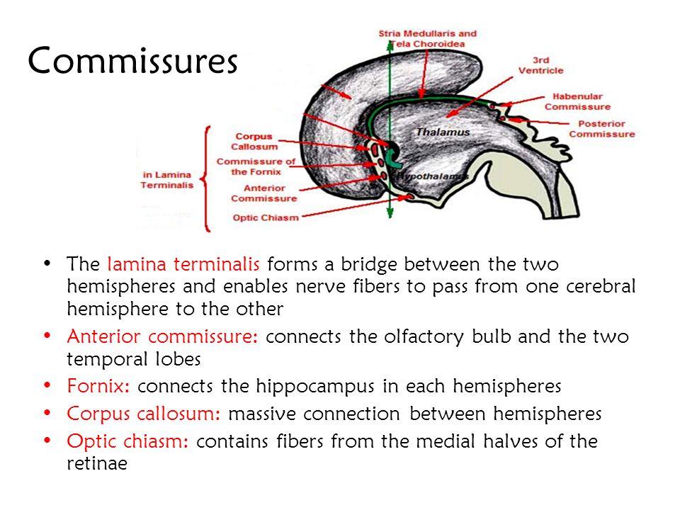 Commissures