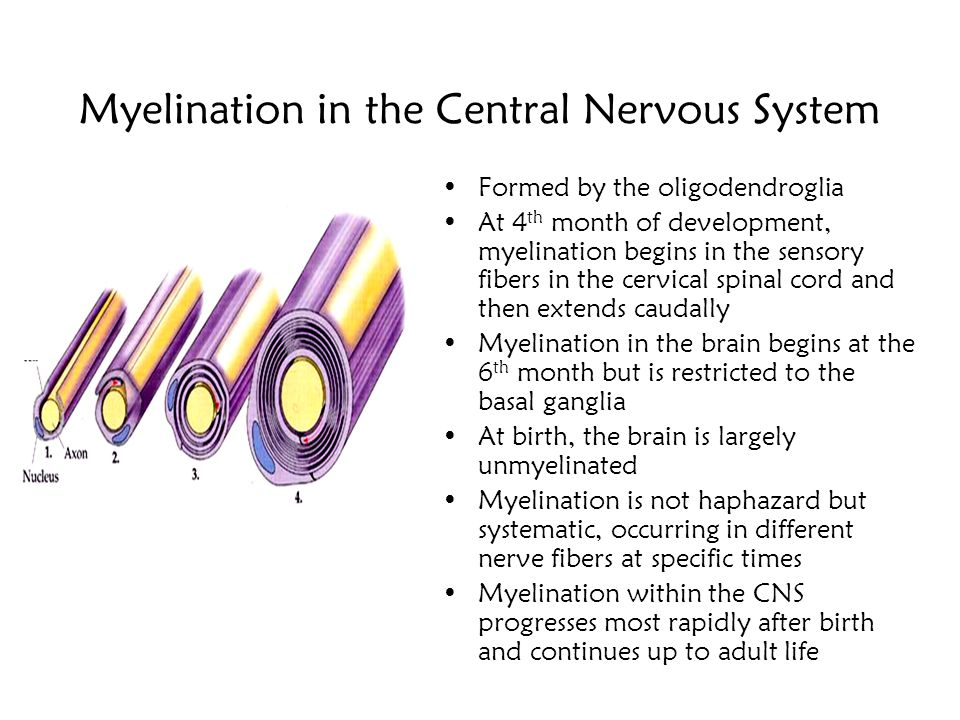 Myelination in the Central Nervous System