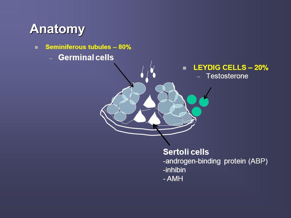Anatomy Germinal cells Sertoli cells LEYDIG CELLS – 20% Testosterone