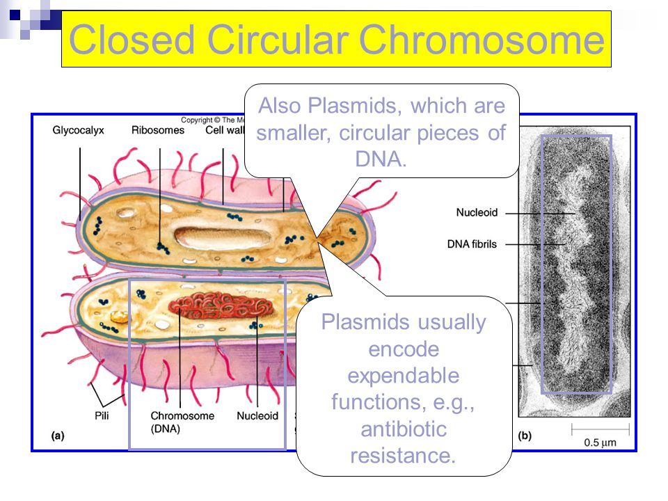 Closed Circular Chromosome