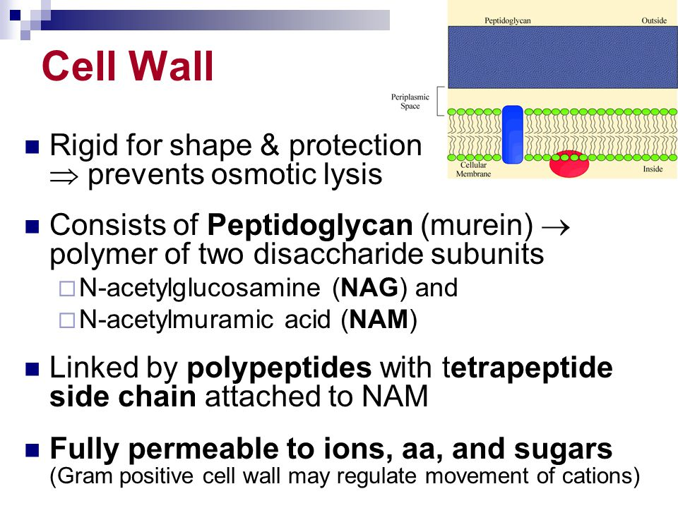 Cell Wall Rigid for shape & protection  prevents osmotic lysis