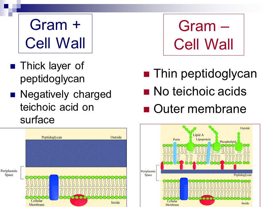 Gram + Cell Wall Gram – Cell Wall Thin peptidoglycan No teichoic acids